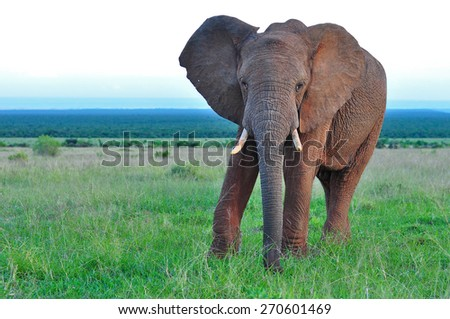 African Elephant walking and browsing - stock photo