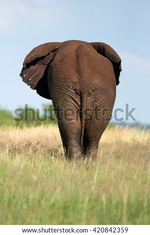 African elephant walking in the savannah of the Pilanesberg National Park, South Africa.