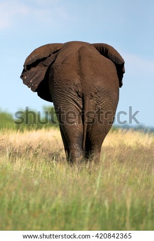 African elephant walking in the savannah of the Pilanesberg National Park, South Africa. - stock photo