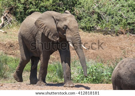 African elephant walking out the bush during a drought
