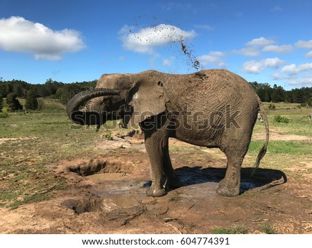 African elephant watering himself with mud. Selective focus