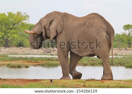 African Elephant - Wildlife Background - Life Waters and Pleasure of Senses - stock photo