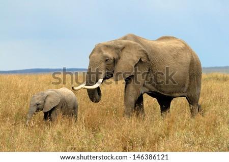 African elephant with calf (loxodonta africana) - stock photo