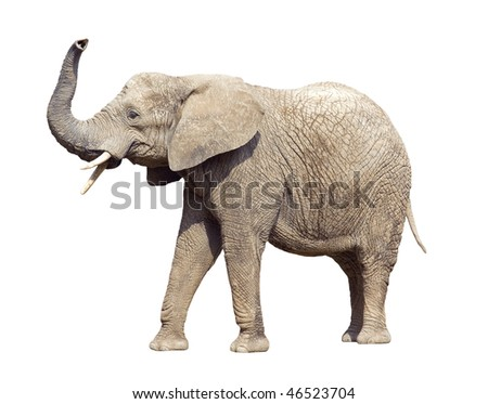 African elephant with clipping path