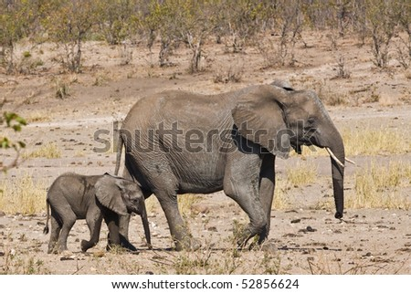 African elephant with its baby in Kruger National Park, South Africa - stock photo