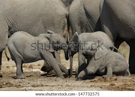 African elephant young playing