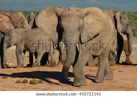 African Elephants and a baby