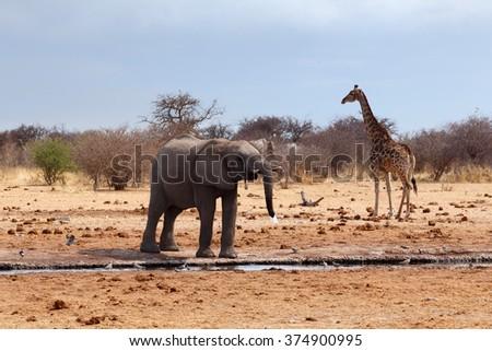 African elephants and giraffe drinking at a waterhole. Etosha national Park, Ombika, Kunene, Namibia. True wildlife photography - stock photo