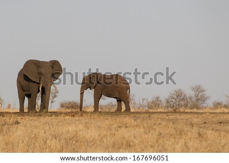 African Elephants at water hole  in Kruger National Park South Africa - stock photo