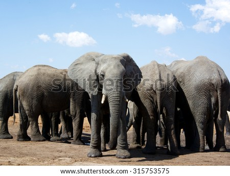 African Elephants back to front