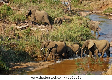 African Elephants crossing a river in the Kruger Park, South Africa. - stock photo