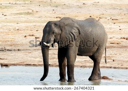 African elephants drinking at a muddy waterhole, Etosha national Park, Ombika, Kunene, Namibia. True wildlife photography - stock photo