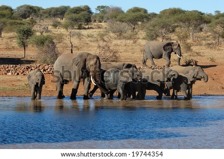 African Elephants drinking at a water hole - stock photo