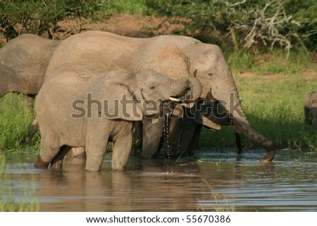 African elephants drinking, Kruger NP, South Africa - stock photo