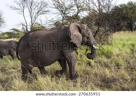 African elephants families  (Loxodonta Africana) feeding time Tanzania - stock photo