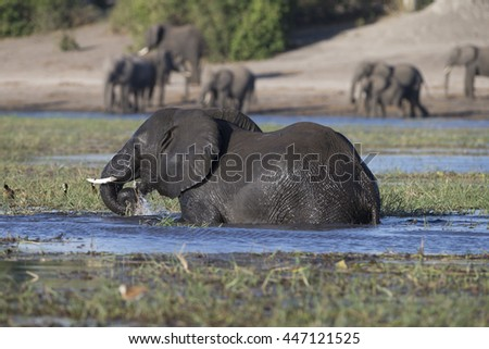 African Elephants feeding and bating in the Chobe River at Kasane, Botswana - stock photo
