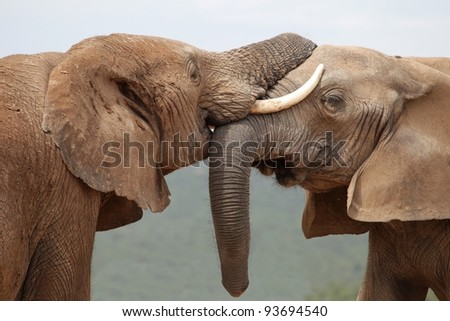 African elephants greeting each other with trunks and mouths touching - stock photo