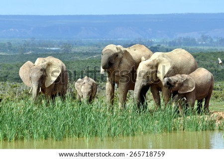 African Elephants in Addo Elephant National Park - stock photo