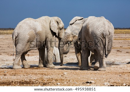 African elephants in the middle of the savannah