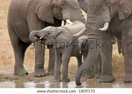 African elephants (Loxodonta africana) at a waterhole, Kruger National Park, South Africa - stock photo