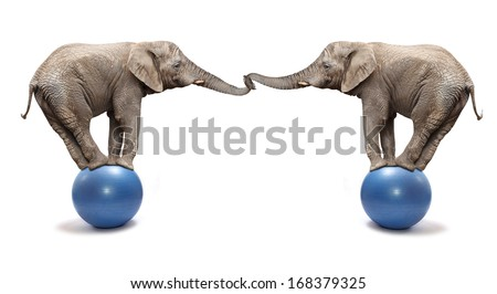 African elephants (Loxodonta africana) balancing on a blue ball. - stock photo
