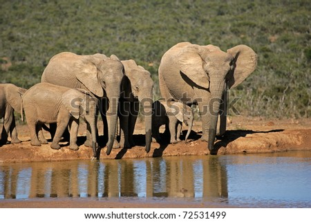 African elephants (Loxodonta africana) drinking water at a waterhole, Addo Elephant park, South Africa - stock photo