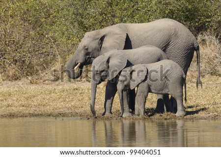 African Elephants (Loxodonta africana) drinking water, South Africa - stock photo