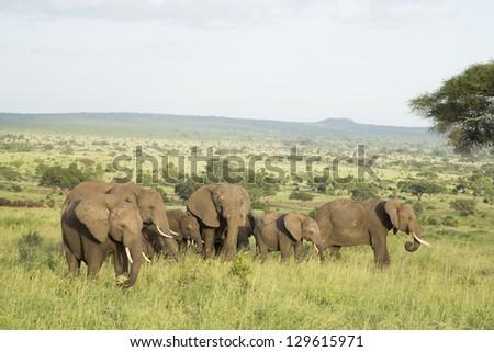 African Elephants (Loxodonta africana) in Tarangire National Park in Tanzania - stock photo