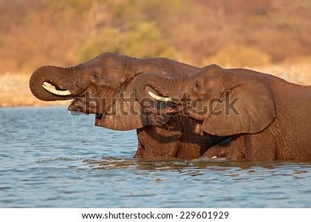 African elephants (Loxodonta africana) standing in water, Etosha National Park, Namibia - stock photo