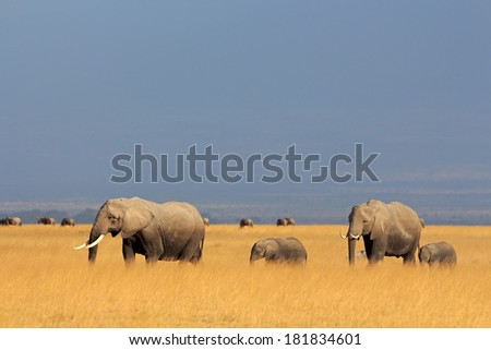 African elephants (Loxodonta africana) walking in grassland, Amboseli National Park, Kenya  - stock photo