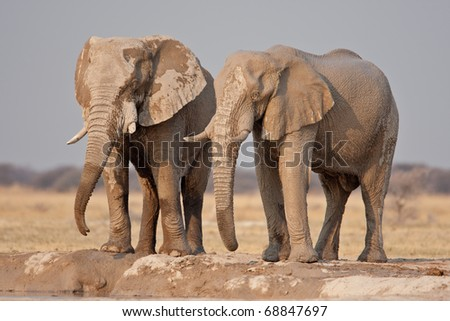 African Elephants, Nxai Pan National Park, Botswana - stock photo