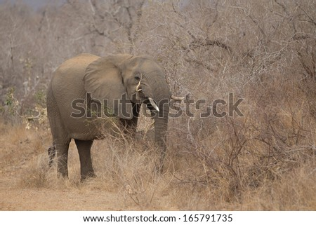 African Elephants on a rainy overcast day in Kruger National Park - stock photo