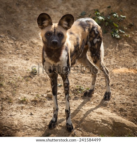 African endangered wild painted dog