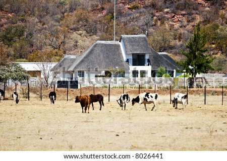 African farm, Botswana, cattle, wide land, thatched roof building, farming series - stock photo