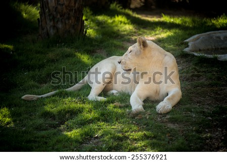 African female lion - stock photo