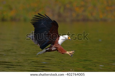 African Fish Eagle at the moment the attack on the prey. Kenya. Tanzania. Safari. East Africa. - stock photo