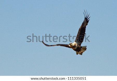 African fish eagle flying high on a blue sky background, South Africa - stock photo