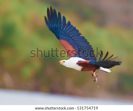 African Fish Eagle flying.Republic of Kenya. - stock photo