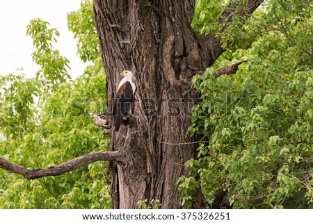 African Fish Eagle (Haliaeetus vocifer) perched in tree, Okavango Delta, Botswana - stock photo