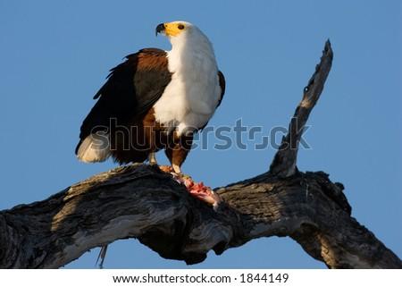 African Fish Eagle; Haliaeetus Vocifer; South Africa - stock photo