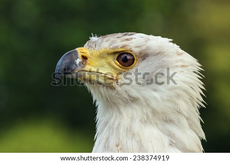 African fish eagle in profile. A close up head and shoulders view of a magnificent african fish eagle. - stock photo