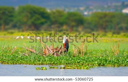 African fish eagle on the lake Naivasha. Africa. Kenya - stock photo