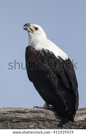 African fish eagle perched on tree branch - stock photo