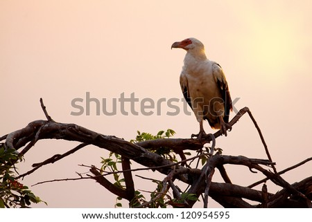 African fish eagle sitting on a branch in the sunset - stock photo