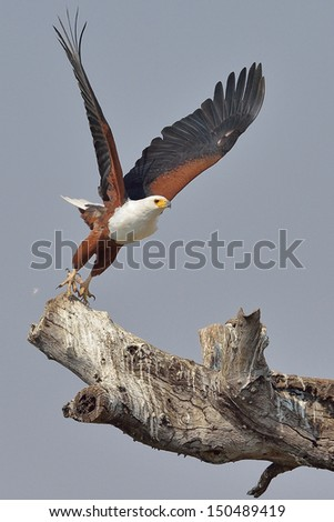 African Fish Eagle taking off from a dead tree - stock photo