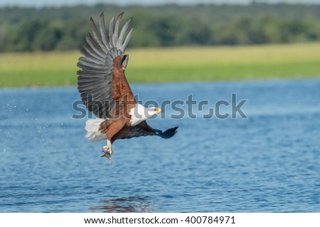 African Fish Eagle with small tiger fish in claw on Chobe River, Botswana