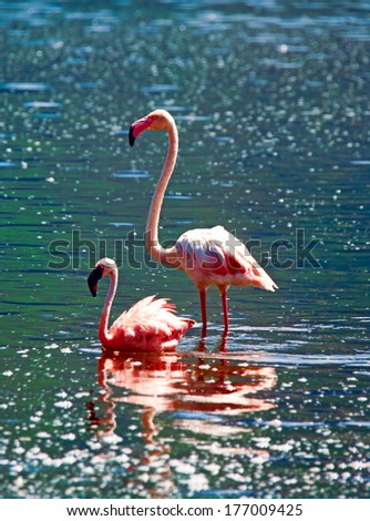 African flamingos in the lake  - stock photo