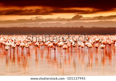 African flamingos in the lake over beautiful sunset, flock of exotic birds at natural habitat, Africa landscape, Kenya nature, Lake Nakuru national park reserve - stock photo