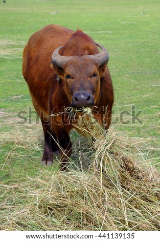 African forest buffalo eating hay.  - stock photo