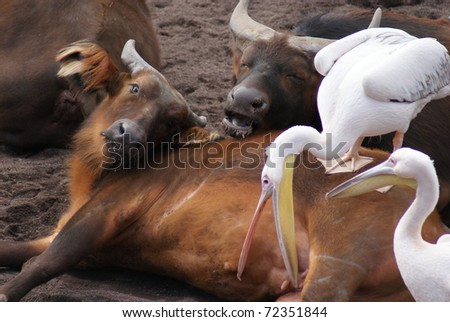 African Forest Buffalo (Syncerus caffer nanus) and Great White Pelican (Pelecanus onocrotalus) - stock photo